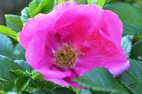 DSC_0756 054 5-1-14 pink rose rugosa