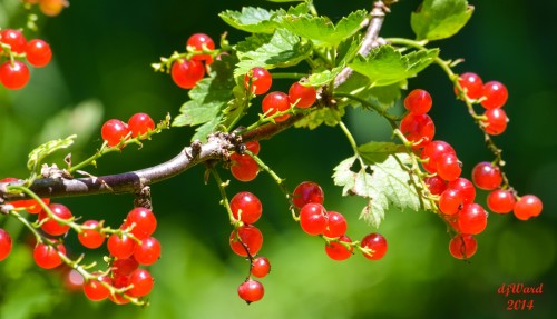Ripening Currants