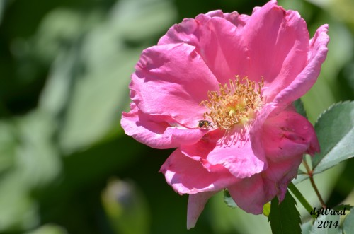 Honey bee Enjoys Knockout Rose