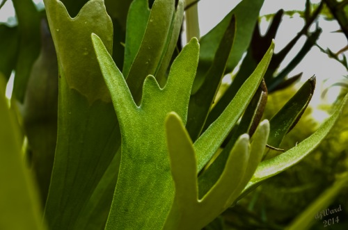 Staghorn Fern in a greenhouse