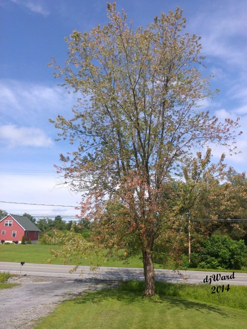 Silver Maple, show some fall color