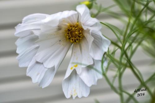 DSC_8664 084 8-22-14 cosmos white pollen