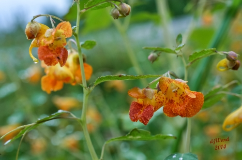 DSC_9256 090 8-31-14 jewelweed3
