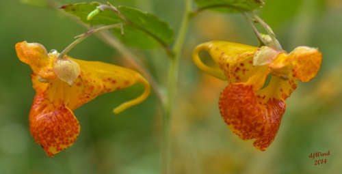 DSC_9263 090 8-31-14 2 jewelweed