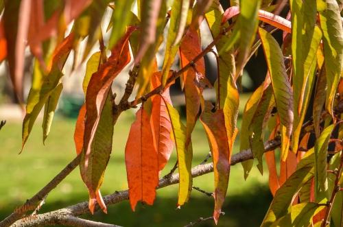 Fall Color, Peach Tree Branch