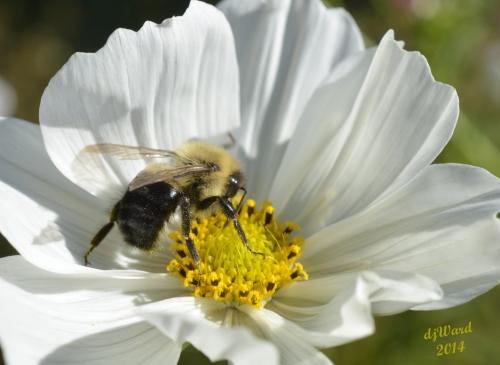 DSC_0965 103 10-12-14 bee-cosmos 2
