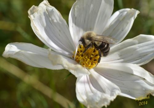 DSC_1087 103 10-12-14 bee-cosmos