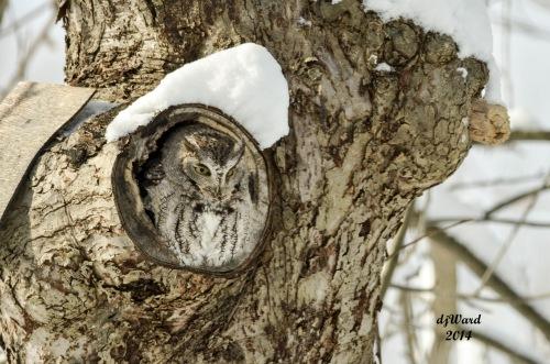 DSC_3182 115 11--28-14 owl-lie