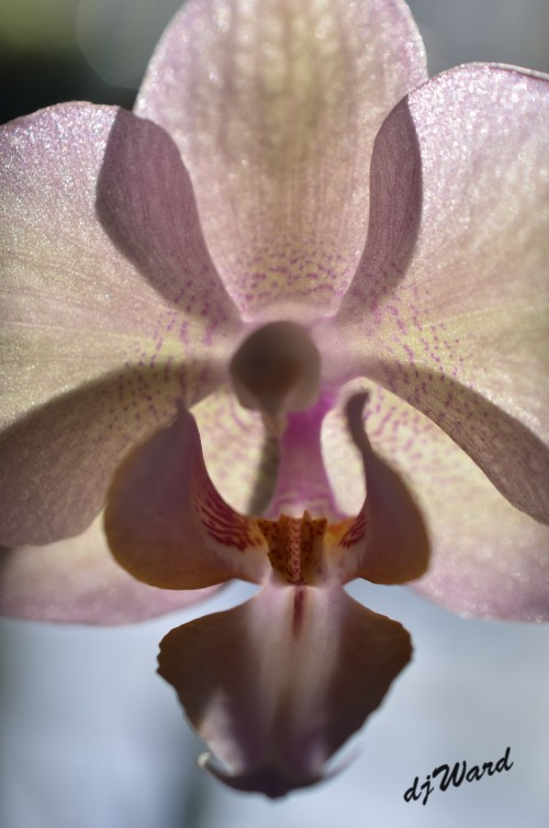 DSC_5316_120 1-29-15 orchid backlit_edited-1