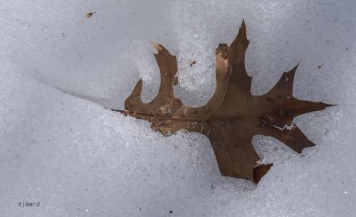 Leaf encased by snow