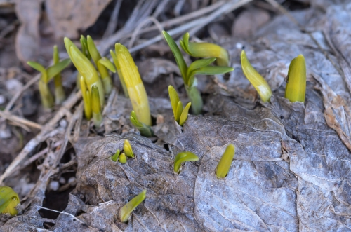 Mini-daffodil tips under ice