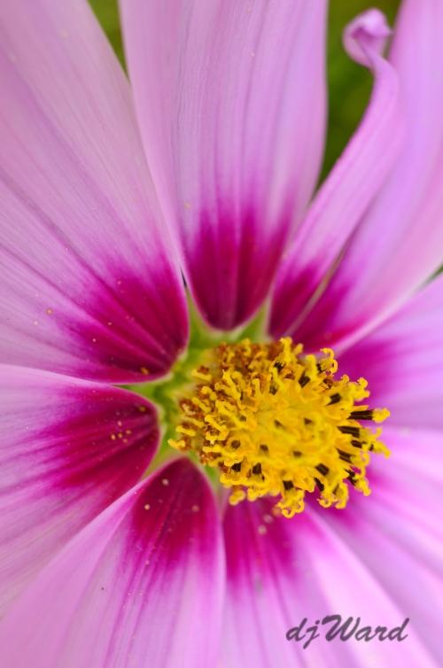 close view of a cosmos (flower) center