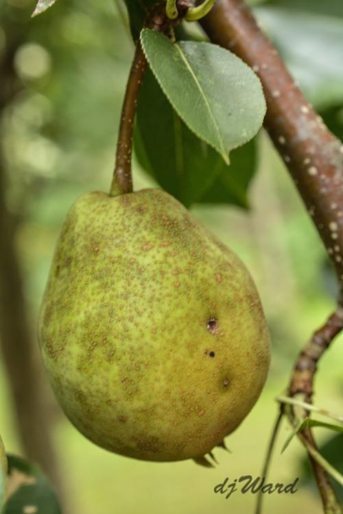 Still green Pear