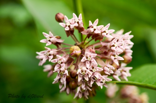 Bilkweed Bloom