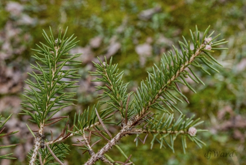 Fir Branch, with new growth