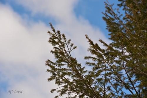 Evergreens, Spring Sky