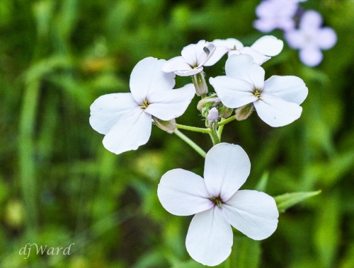 Wild Phlox, dressed in white