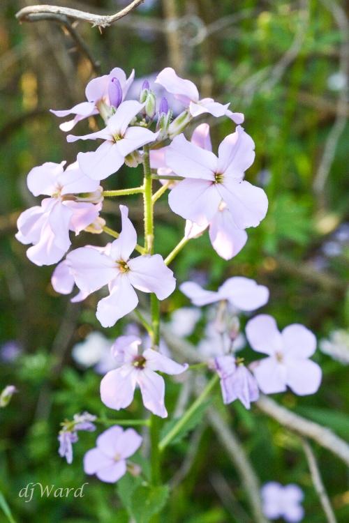 Wild Phlox, pale lavendar