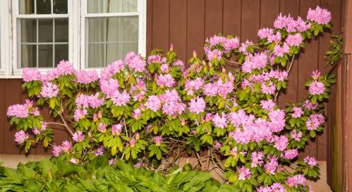 DSC_6389_044 5-29-17 rhodo bushes