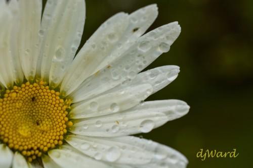 DSC_7866_062 6-39-16 daisy drops