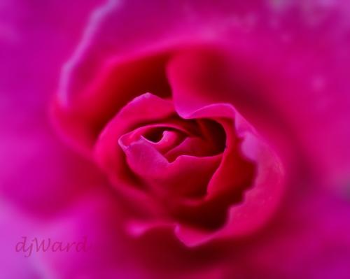 DSC_0864_089 9-17-`7 rose macro